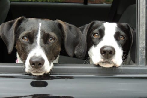 Dogs Looking Outside Of Car Window