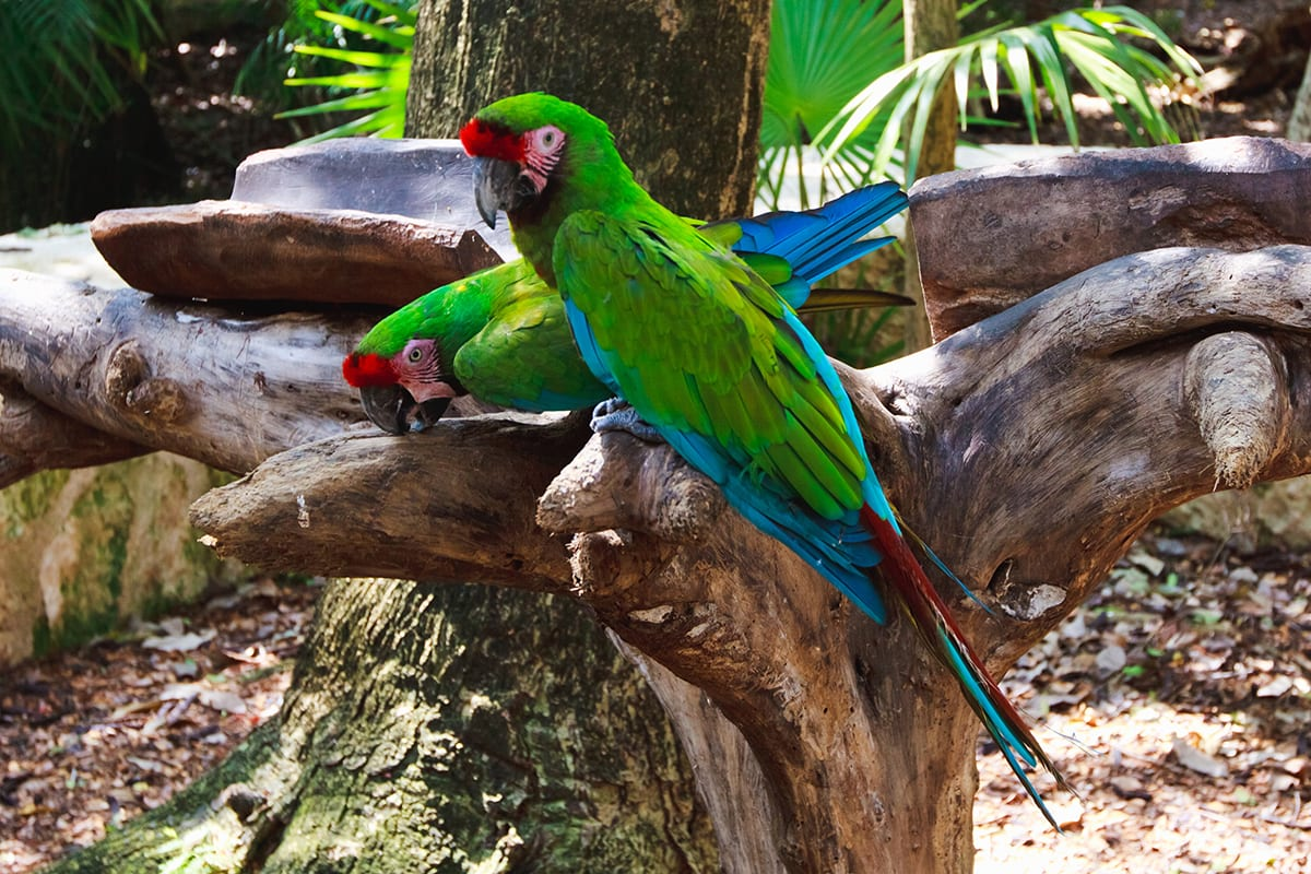 Green Macaws in Xcaret, Mexico