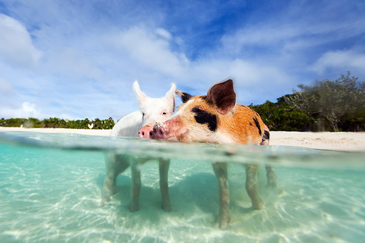 Pigs Swimming in the Caribbean